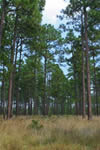 photo of longleaf pine - copyright Michael McCloy
